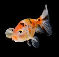 iStock_Goldfish_22157665